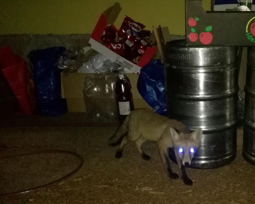A tábori róka (Kiss A. Kriszta képe)